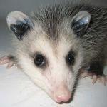 Possum Piper Profile Picture